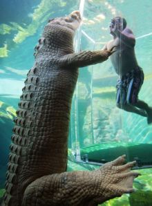Swimming with a salt-water crocodile