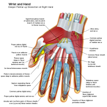 602px-Wrist_and_hand_deeper_palmar_dissection-en.svg