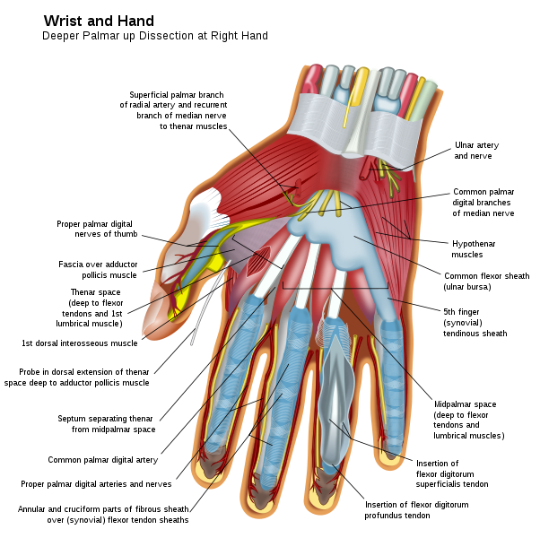602px-Wrist_and_hand_deeper_palmar_dissection-en.svg