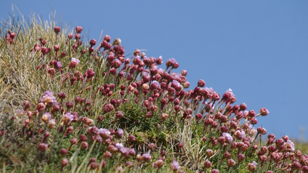 Sea pinks against the sky. yes, it's time for me to start taking lots of photos of sea pinks again.