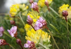 Sea pinks and vetch on the Newtown cliffs