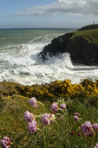 Gorse and pinks on the cliff above an unswimmable Newtown Cove