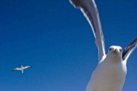 Close of a blackback gull attacking