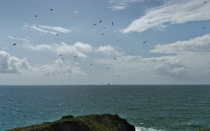 Flock if mixed species of seabird riding updrafts