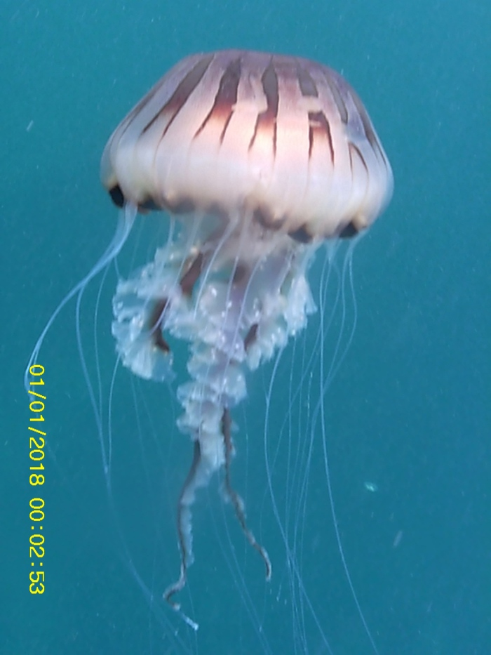 a compass jellyfish